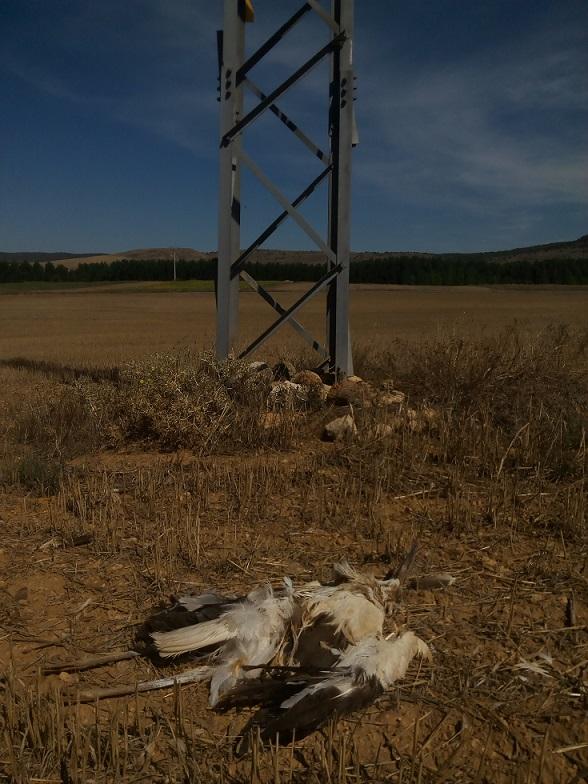 Cigueña electrocutada en la Comarca de Molina de Aragón