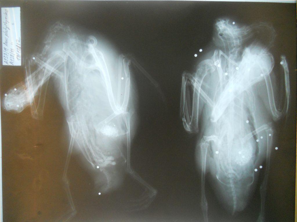 Imagen de un ánade tras Rayos-X